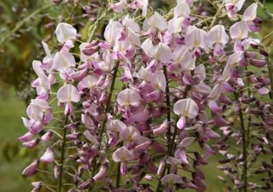 Les plantes grimpantes parfumées