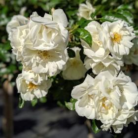 Les rosiers : la gamme Décorosier