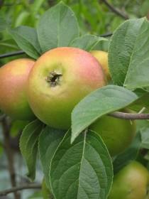 Les arbres fruitiers : toutes la liste