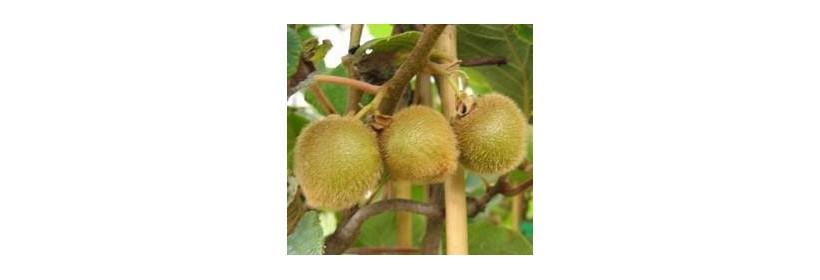 Les arbres fruitiers : les autres fruits