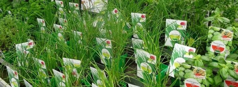Les herbes aromatiques pour le potager