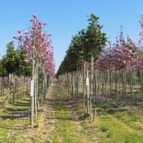 Tous les magnolias
