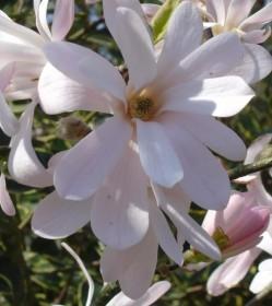 les magnolias caducs à petit développement