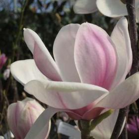 les magnolias caducs à moyen développement
