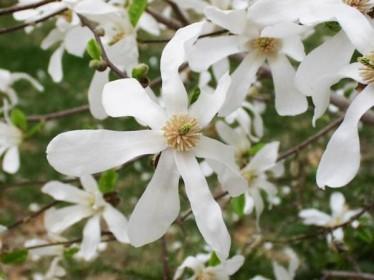 les magnolias caducs à grand développement