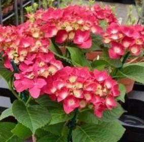Plante de la pépinière : les hortensias