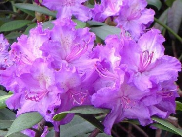 Plante de la pépinière : les rhododendrons