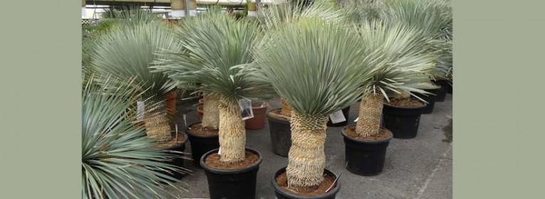 Notre offre de plantes yuccas