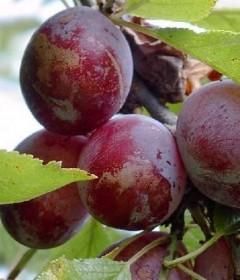 Les arbres fruitiers : les fruits à noyau