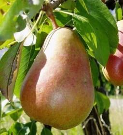 Les arbres fruitiers : les fruits à pépins
