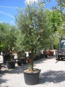 Tous les oliviers des Pépinières du Val d'Erdre