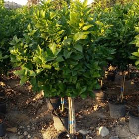 Des agrumes avec vos plantes d'intérieur