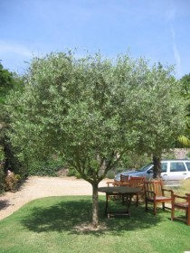 Aménager un jardin méditerranéen avec des oliviers