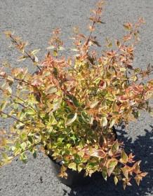Les plantes phares : Abelia