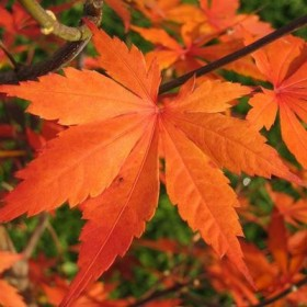 Les plantes phares : les érables japonais ou Acer palmatum