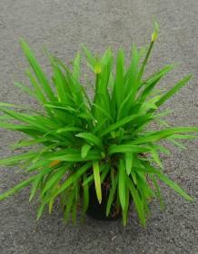 Les plantes phares : Agapanthe