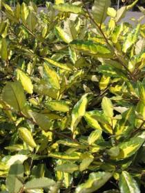 Les plantes phares : les Eleagnus