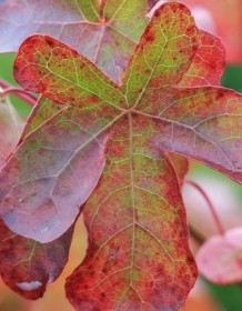 Les plantes phares : les Liquidambar