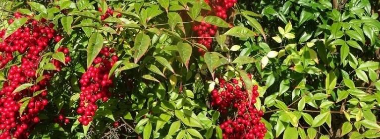 Les plantes phares : Le Nandina domestica