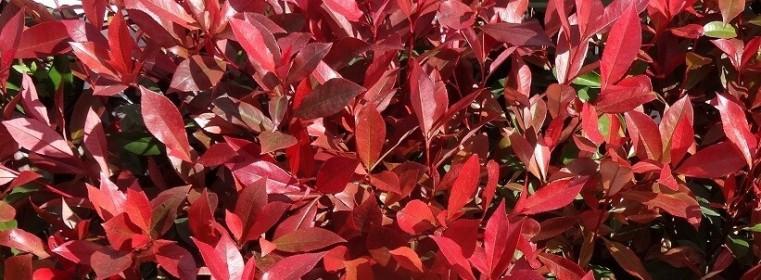 Les plantes phares : les photinia